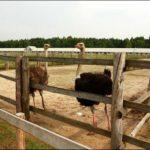 Кобрин страусиная ферма фотография 2