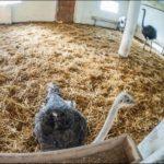 Кобрин страусиная ферма фотография 3