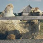 Кобрин страусиная ферма фотография 6