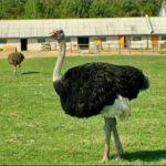 Кобрин страусиная ферма фотография 8