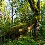 Беловежская пуща лес