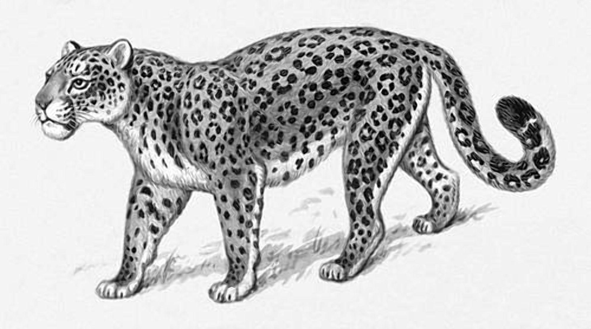 Болотный лемпард - полумифический хищник Пущи