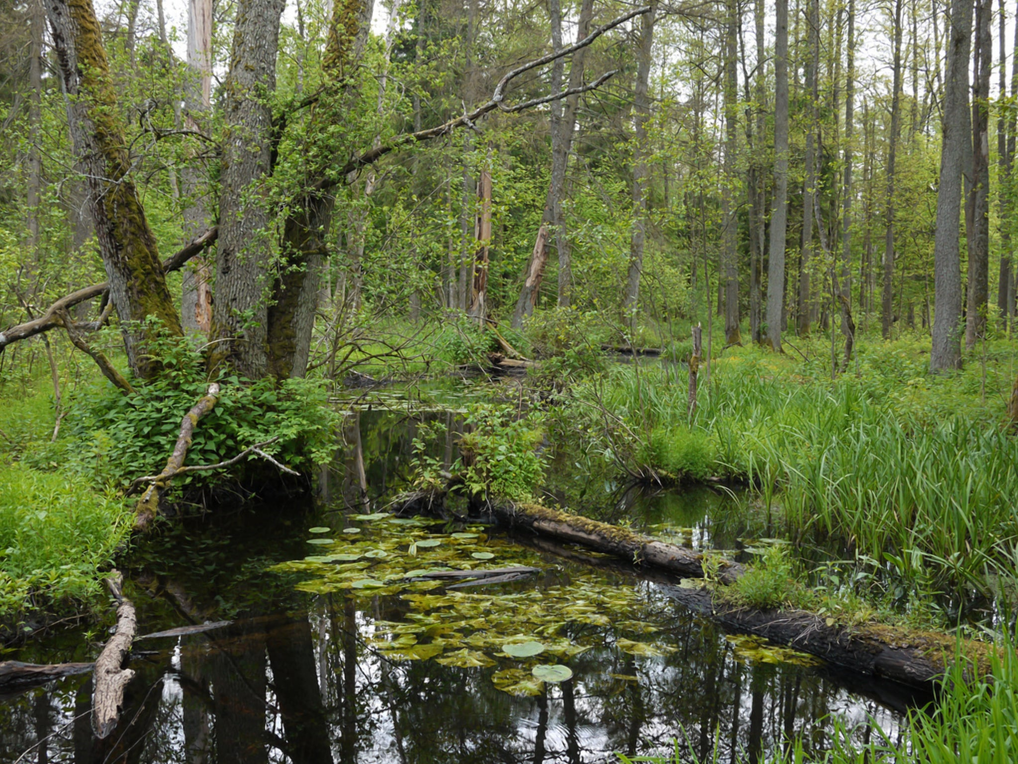 Пуща реликтовый лес Европы