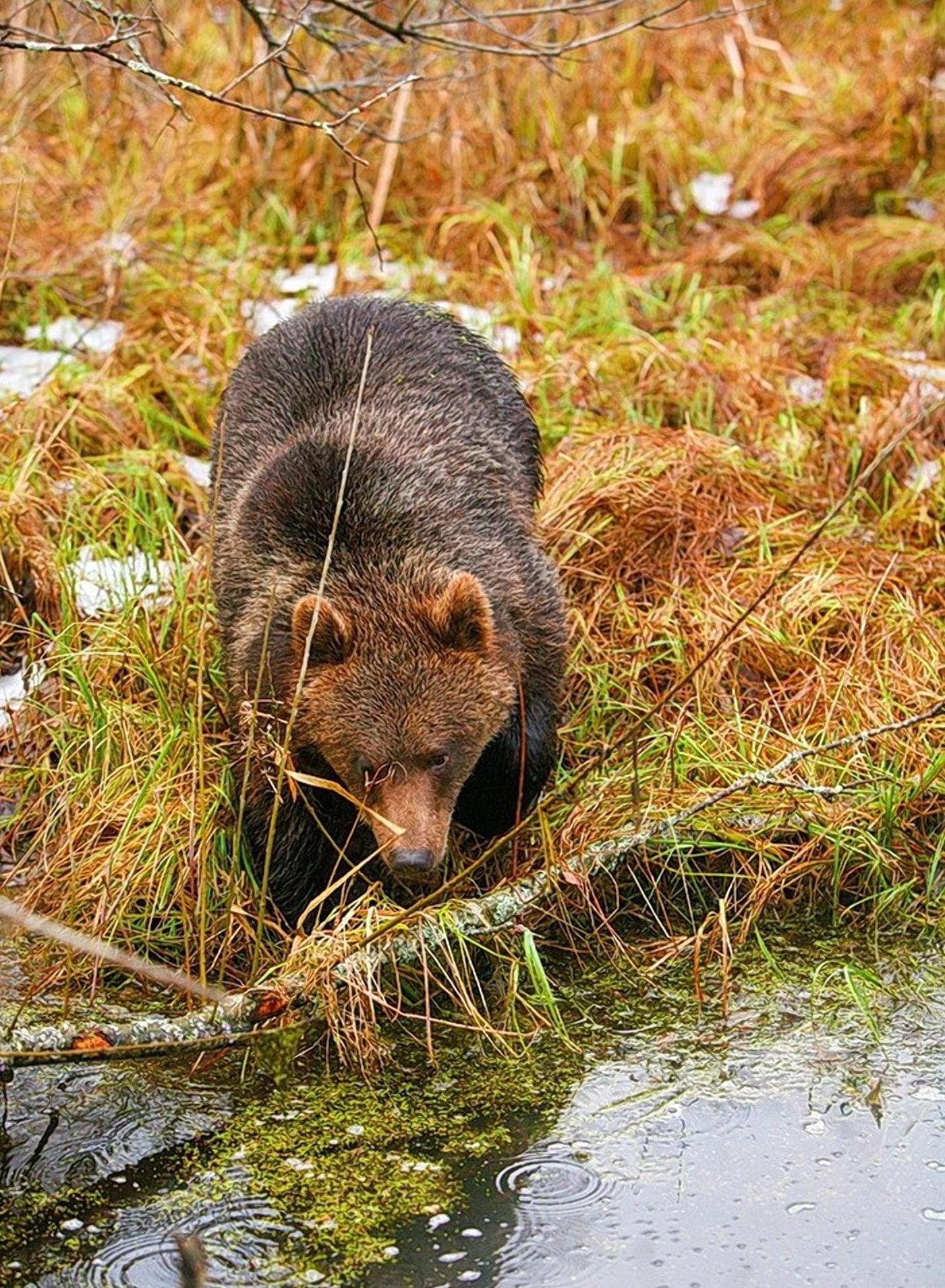 Медведи обитатели гигантских белорусских болот