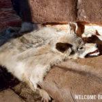 Шкура волка в зале о присваивающем хозяйстве