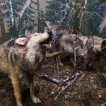 Волки в музее природы