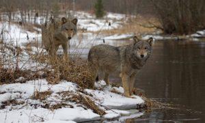 Волки в налибокской пуще
