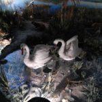 Лебеди в Витебском музее