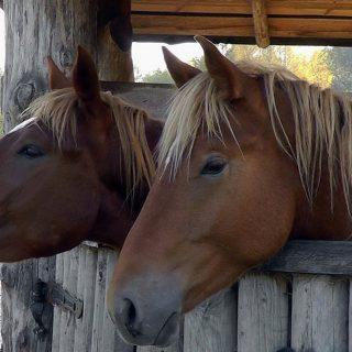 Кони в Коробчицах