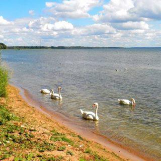 Лебеди на озере Нарочь